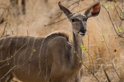 Kudu Standing in the Grasslands of Kruger Park. A mature Kudu, showing head and body, including a face front shot, as he stands staring quietly in the grasslands Stock Images