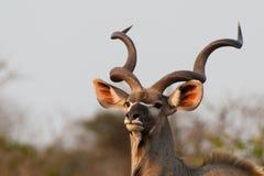 Kudu Stier Stockfotografie