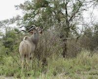Kudu Stier Lizenzfreies Stockbild