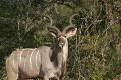 Kudu-Stier 2 Lizenzfreie Stockbilder