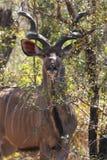 Kudu Stier Lizenzfreie Stockfotografie