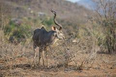 Kudu-Stier, der weg von einem Strauch einzieht Lizenzfreie Stockfotos