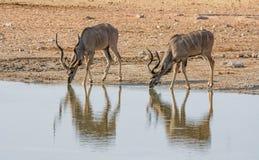 Kudu-Stiere lizenzfreie stockbilder