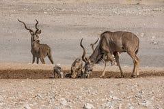 Kudu-Stiere stockfoto