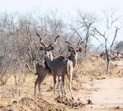 Kudu-Stiere stockfotografie
