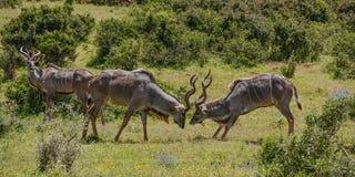 Kudu-Stiere Fighting Lizenzfreie Stockbilder