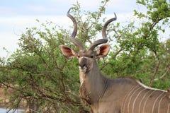 Kudu stirrande arkivbilder