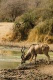 Kudu stoppt TP-Getränk an einer Wasserstelle Stockfotos