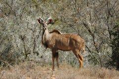 Kudu (strepsiceros del Tragelaphus) Fotografia Stock