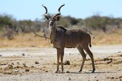 Kudu sull'allerta Fotografia Stock Libera da Diritti