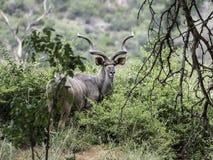 Kudu tjur Arkivfoto