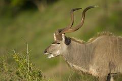 Kudu tjur Arkivfoton