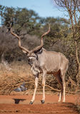 Kudu tjur Arkivbilder