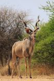 Kudu tjur - Bush Contrasts Royaltyfria Foton