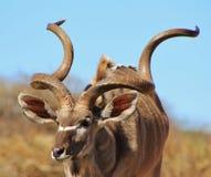 Kudu tjur - häpnadsväckande stolthet och perfektion Royaltyfri Fotografi