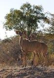 Kudu (Tragelaphus strepsiceros) Stock Image