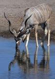 Kudu (Tragelaphus strepsiceros) - Namibia. A mature male Kudu (Tragelaphus strepsiceros) drinking at a waterhole in Etosha National Park in Namibia stock image