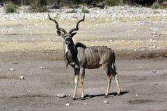 Kudu (Tragelaphus strepsiceros) - Namibia Royalty Free Stock Photos
