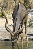 Kudu trinking Stock Photos