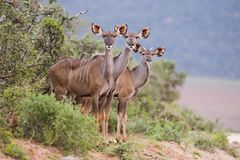 Kudu Trio Royalty Free Stock Photography