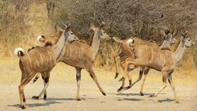 Kudu Trot - African Antelope. Kudus running away.  Photo taken in Namibia, Africa Stock Image