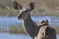Kudu und Freund, Nahaufnahme Lizenzfreie Stockbilder