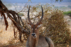 A Kudu under a tree. A Kudu (exact name: Tragelaphus Strepsiceros) under a tree in the African national Park Tsavo East royalty free stock photo