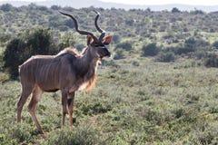 Kudu w świetle słonecznym Obrazy Stock