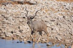 Kudu w Etosha Zdjęcia Stock