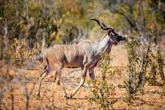 Kudu w Południowa Afryka Zdjęcie Stock