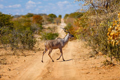 Kudu w Południowa Afryka Fotografia Royalty Free