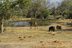 Kudu & Wart Hog Family royaltyfri foto