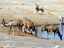 kudu waterhole Fotografia Royalty Free