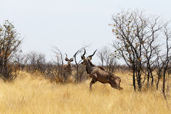 Kudu on way to waterhole Stock Images
