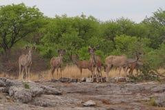 Kudu weidt in Etosha, Namibië Stock Foto's