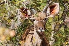 kudu wielcy potomstwa Fotografia Royalty Free