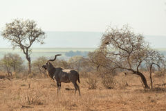 Kudu in the wild Stock Image