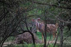 Kudu in the woods. Photo of a Kudu behind the woods Stock Photography