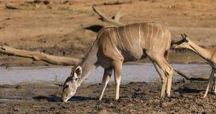 Kudu y agua potable de los antílopes del impala metrajes