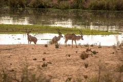 Kudu zmierzch Obrazy Royalty Free