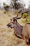 Kudu, Zuid-Afrika Royalty-vrije Stock Foto