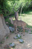 Kudus δύο στο ζωολογικό κήπο Στοκ φωτογραφίες με δικαίωμα ελεύθερης χρήσης