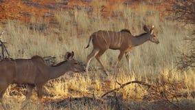 Kudus de Namibia almacen de metraje de vídeo