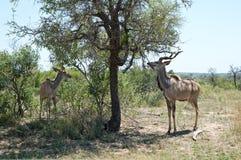Kudus debajo del árbol Fotografía de archivo libre de regalías