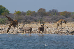 Kudus and giraffes Stock Photography