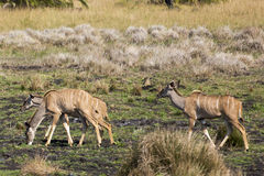 Kudus Grazing Stock Photos