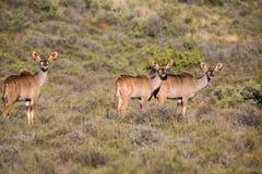 Kudus in the Karoo NP Royalty Free Stock Image