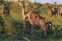 Kudus. In the Makgadikgadi Pans Nationnalpark Royalty Free Stock Images