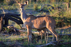 Kudus. In the Makgadikgadi Pans Nationnalpark Royalty Free Stock Photos