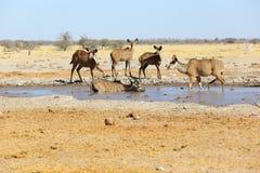 Kudus at the water Stock Photo